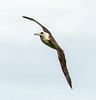 Laysan Albatross in Flight by philhaber