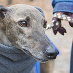 Greyhound Adventures at Pond Meadow Park, Braintree MA, Nov 16th 2014