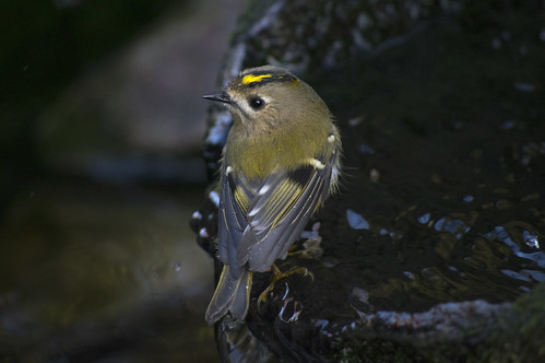 Goldcrest | by ukalex