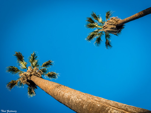 pov perspective trees nature palms sky color blue angle diagonal minimal flora plant zajdowicz pasadena california leica lightroom outdoor outside availablelight