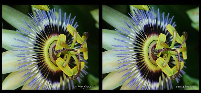 Passion flower 3d cross-view