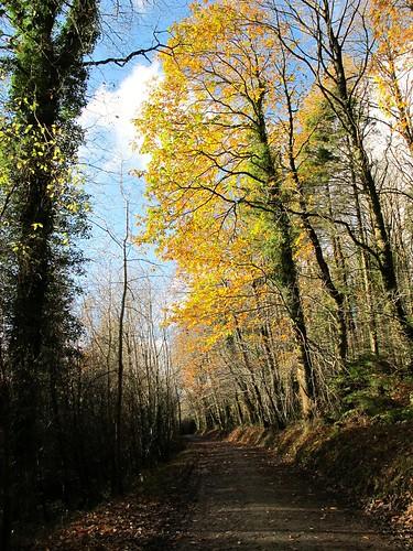 wood autumn ireland irish tree leaves yellow woodland gold countryside scenery path cork bluesky foliage colourful newmarket sweetchestnut islandwood canong11 ilobsterit