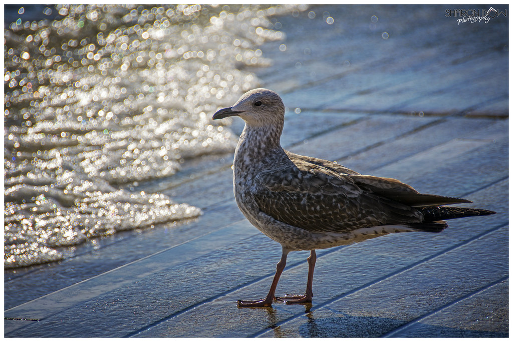 Herring Gull | Audubon Field Guide