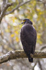 Crested serpent eagle by Abhijit Joshi