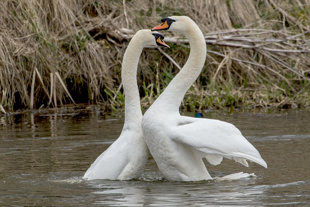 Swans Displaying at Nene Park Trust 15/03/15