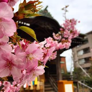 忠さん歩 春です。 #桜神宮 #桜新町