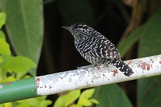 Barred Antshrike | by Linda Bushman