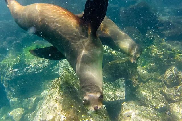 Leones marinos en isla Santa Fe (Islas Galápagos)