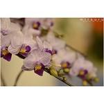 💜 💜 💜 . .  #ザランハンター  #2015らん月間 .  #purple .  深い 夜に 深い 紫は実に映える。 .  #世界らん展 #世界らん展日本大賞2015 #花 #flower #instaflower #蘭 #胡蝶蘭 #instamood #instagood #マクロ #藤紫色 #藤色 .  #花蘭満  #春爛漫  #nikond5100. .  #nikonでニコッ
