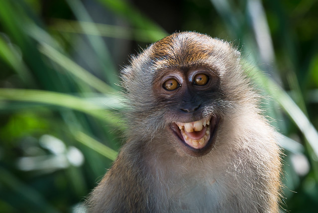 Smiling Macaca fascicularis, Crab-eating macaque - Tarutao National Marine Park