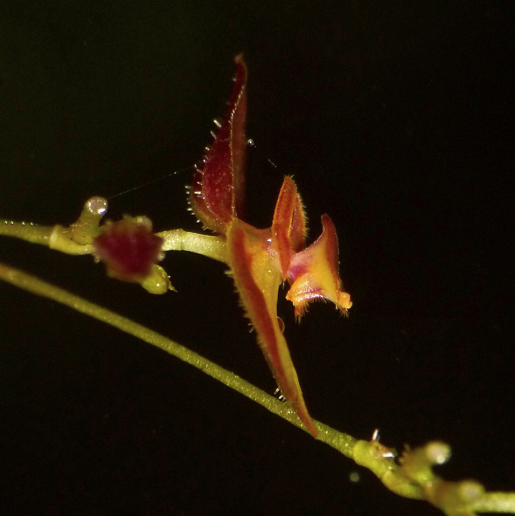 Lepanthes sp. ID122