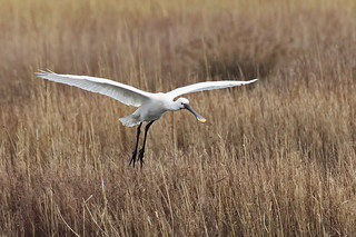 European Spoonbill | by Chris B@rlow