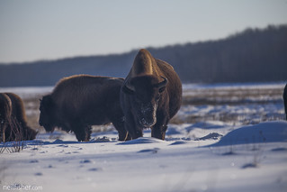 Bison | by neil.fisher