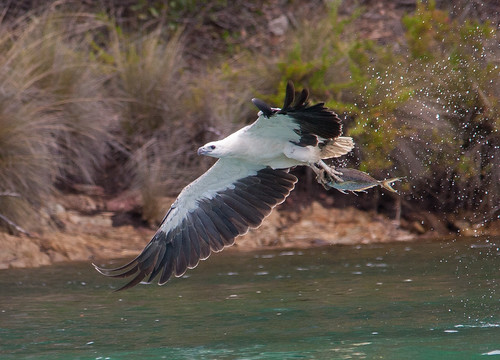 white-bellied sea eagle (Haliaeetus leucogaster)-5491 | by rawshorty