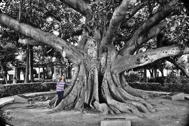 Ficus Sagrado.