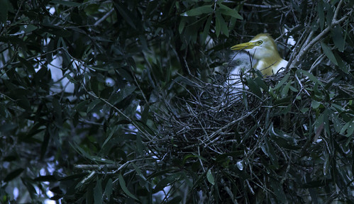 Cattle egret & chick, USC Sippy Downs