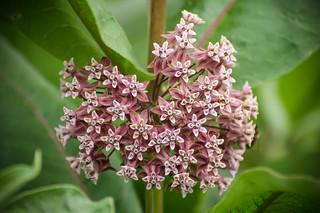 Common milkweed / Asclepias syriaca   by stoplamek