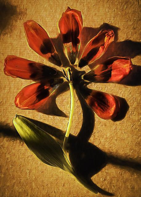 Dismantled Tulip-0591