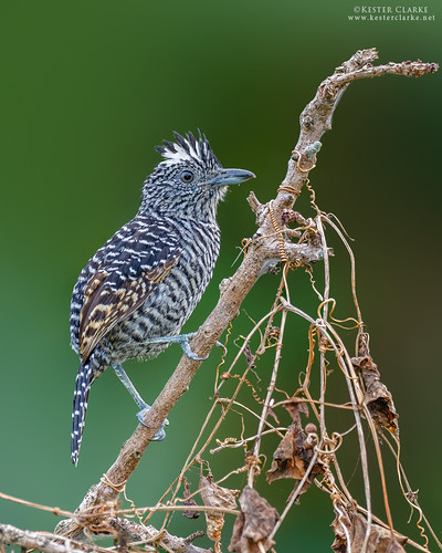 Barred antshrike (Male) | by Kester Clarke
