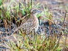 Small Buttonquail (Turnix sylvatica) by David Cook Wildlife Photography