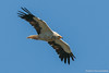 Abutre-do-egipto ou Britango, Egyptian vulture (Neophron percnopterus) by Vasco VALADARES