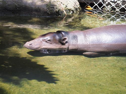 Pygmy Hippopotamus | by prelude2000