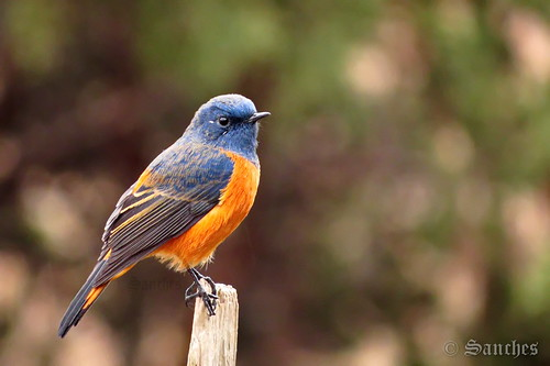 The blue fronted redstart | by savio.sanches