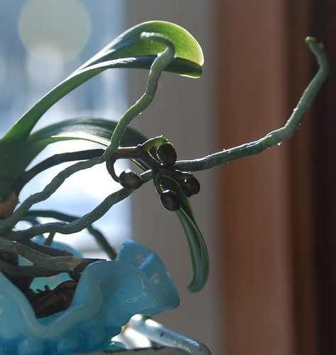 orchid buds | by A Storybook Life