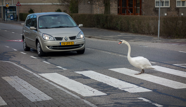 Civilized swan
