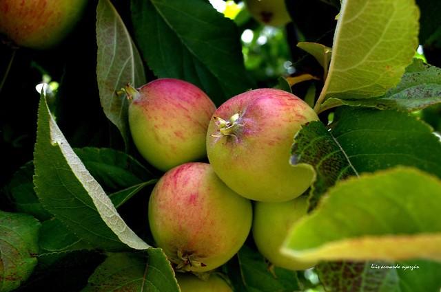 Silencio de manzanas/ Silence of apples.                Isla  Victoria.