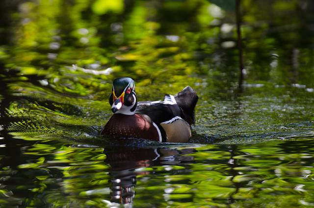 Wood/Carolina Duck (Aix sponsa)
