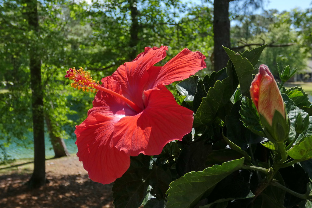 Rosa Sinensis Brilliant Hibiscus Is A Genus Of Flowering Flickr