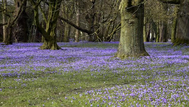Krokusblüte in Husum; Nordfriesland (46)