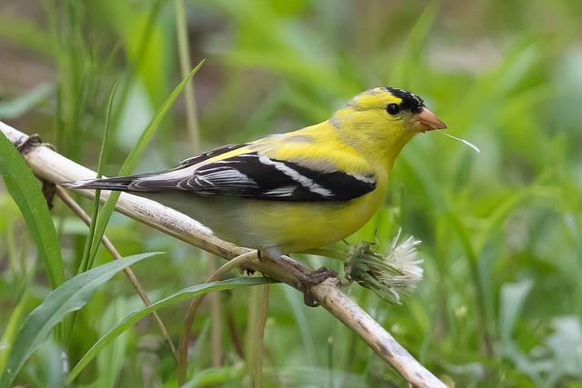 Goldfinch Eatting a Dandelion