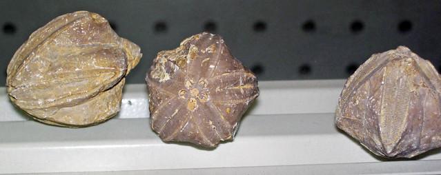 Pentremites sp. (fossil blastoids) (Mississippian; Big Hill, Kentucky, USA) 1