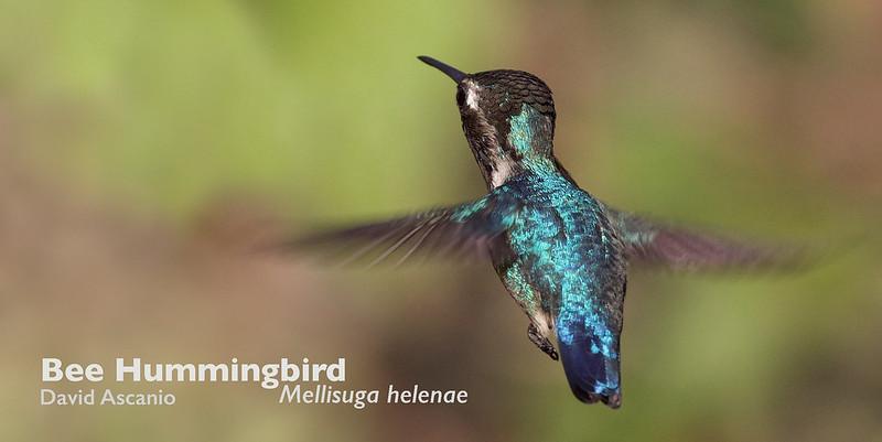 Bee Hummingbird, Mellisuga helenae_199A3392