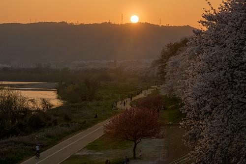 八幡市 京都府 japan kyoto 背割堤 淀川 川 river 桜 cherry 夕景 sunset