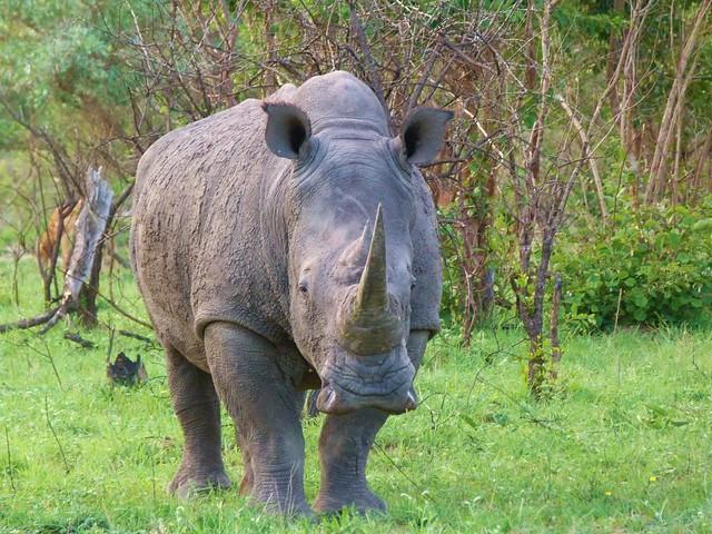 Rinoceronte en el Kruger de Sudáfrica (Miembro de los Big Five de África)
