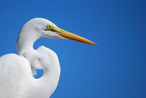 Great Egret   by RuudVisser
