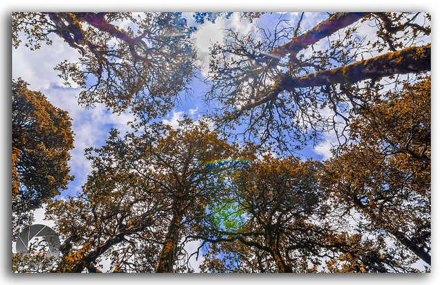 Tall Pine trees in the forest, stretching up into the sky!