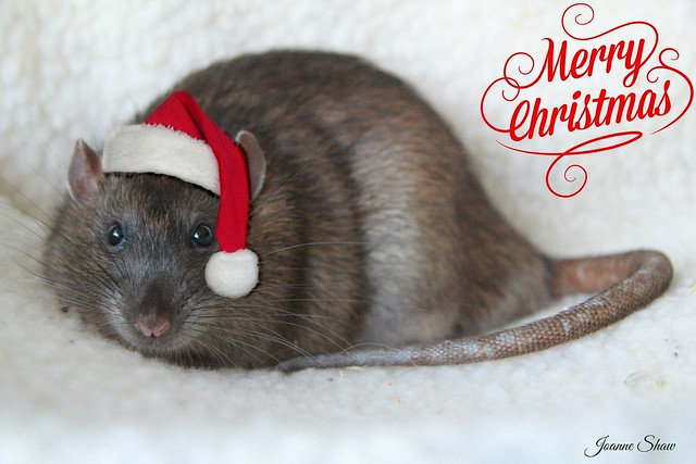 IMG_8658EaN Merry Christmas - Rats in hats