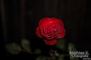 Rose | Projekt | Tag 340