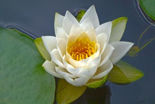 Lotus flower | by Polyrus