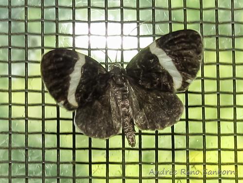 White-striped Black - Hodges#7430 (Trichodezia albovittata)