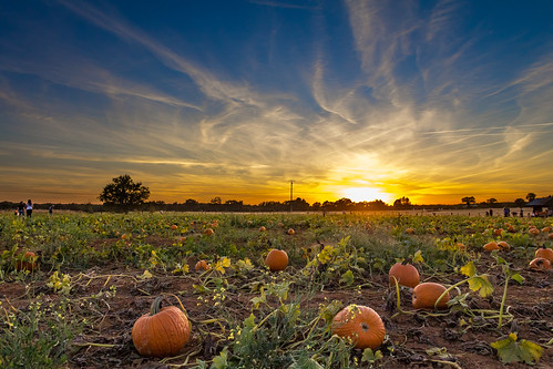 pumpkin pumpkins pumpkinpatch bishopspumpkinfarm wheatland sunset panoramicsunset farm farmland evening country countryliving october halloween sky sun field grimeshome davidgrimesphotography davidgrimesphotographer grimeshomephotography