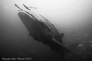A Whale Shark rises from the murky depths at Sail Rock, Koh Phangan, Thailand