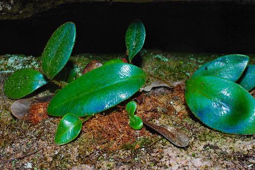 Elaphoglossum wurdackii on Auyan