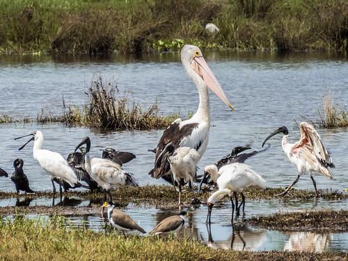 birds lagoon brisbane swamp waterbirds wetland oxleycreekcommon canonsx60hs jabiruswamp