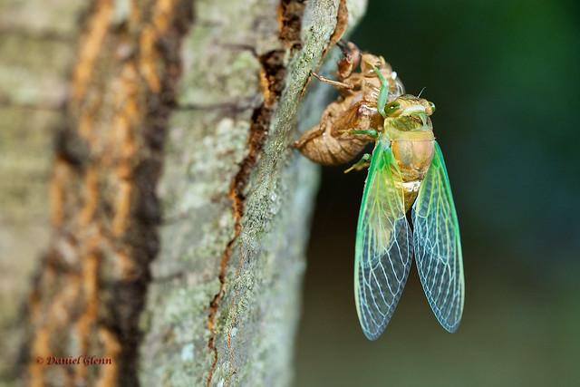 Cicada emerging as an adult