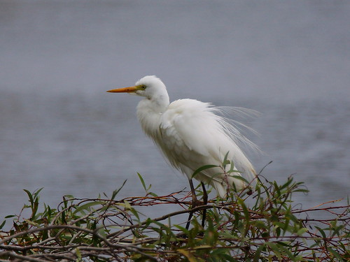 Egret on lagoon, near USC Sports Stadium, Sippy Downs